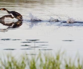 Crested grebe in Kuopio, Finland